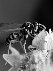 elegance is not a matter of clothes (brescia, italy) (bloodybee) Tags: bw flower macro nature animal bug insect wings wasp antennae pollination vespula vespidae vespulavulgaris hymenopteran hymenopter