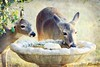"Strange ""Birds"" at the Birdbath (Passion4Nature) Tags: birdbath texas drink deer textures ie hillcountry whitetaildeer artmix whitetaildoe moonseclipse allxpressus yourpreferredphoto tatot magicuniverse artistictreasurefinest magicunicornverybest magicunicornmasterpiece exoticimage textureinfinitebook moonseclipsehighlights whitetailyearling artmixhighlights bestevercompetitiongroup kurtpeiserexcellence kurtpeiser magicuniversemasterpiece artistictreasurechest4 besteverdigitalphotography"