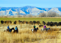 Head Um' Up, Move Um Out ... (Aspenbreeze) Tags: horses cowboys cowboy colorado cattle western prairie cowgirl cowgirls wildwest cattledrive westerncolorado thegalaxy aspenbreeze rememberthatmomentlevel1 topphotospots tpslandscape gpsetest bevzuerlein