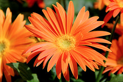 Orange gerbera. (Alexandra Rudge. Peace and love to all!!!) Tags: california flowers plants plant flores flower planta canon flora plantas angeles flor southern gerbera plantae asteraceae flowersl orangegerbera asterales californiaflowers angiosperms eudicots a mutisioideae mutisieae asterids traugottgerber alexandrarudge largecapitulum traugottgerberflower flowerslos alexandrarudgeflowers alexandrarudgeimages alexandrarudgephotography