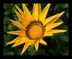 A Gazania Flower -Macro shot (Annette Rumbelow) Tags: camera flowers flower colour macro nature shot sony gazania a a550 annetterumbelow ourgardenbristol