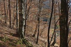 Bosco Bandito di Gracco (candido33) Tags: italy mountain trekking italia novembre village hiking hike monte autunno carnia alpi fvg ud friuli udine borghi friuliveneziagiulia alpicarniche ores talm friul fril boschi abeti friaul titaly escursioni gracco camminate woodf furlanija borghiditalia rigolato valdegano cjarnie canaledigorto ludaria boscobanditodigracco boscotensodigracco monteneval photobyaureliocandido vuezzisrigolatocarniafriuliitaliaabetiborghismall townvillageboschi woodforestitalyphotobyaureliocandidocanaledigortovaldeganocjarnie