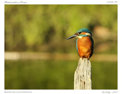 Martin-Pêcheur | Alcedo atthis | Common Kingfisher (BerColly) Tags: france bird river google flickr riviere allier oiseau auvergne commonkingfisher alcedoatthis puydedome martinpêcheur bercolly