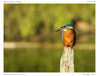 Martin-Pêcheur | Alcedo atthis | Common Kingfisher