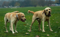 IMG_0021 (BernaPhotography) Tags: dog pet rain yellow lab labradorretriever fetch