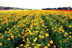 Yellow Ranunculus Field (TheJudge310) Tags: california flowers usa flower field yellow landscape spring unitedstates farm ranunculus nikond70s carlsbad 2012 flowerfield
