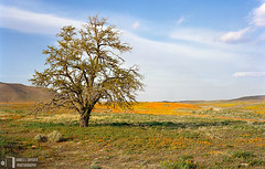 The Lone Desert Oak (James L. Snyder) Tags: california park old flowers orange usa brown painterly tree green dusty field grass horizontal clouds rural one spring oak quercus afternoon flat natural branches country hill tan meadow reserve dry sunny bluesky brush bark level valley highdesert poppies lancaster trunk april lone lonely wildflowers melancholy deciduous vernal antelopevalley grassland enduring 2008 solitary desolate barren bushes shrubs scrub arid gnarled sagebrush mojavedesert venerable sidelighting californiapoppies waterless eschscholziacalifornica californiapoppyreserve losangelescounty copadeoro snr desertoak flameflower laamapola statenaturalreserve southwestboundary