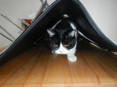 Tunnel dweller (Ottmar H.) Tags: cat chat gato katze macska  kater  tomcat