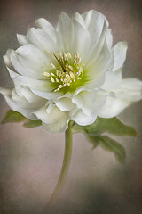 Christmas Rose (Jacky Parker Floral Art) Tags: xmas winter portrait white plant flower art nature floral rose vertical garden festive one flora creative single bloom flowering hellebore softfocus format christams orientation perennial helleborus lenten floralessence