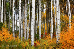 The White Pine Forest (Aaron Reed Photography) Tags: autumn trees white photography washington fallcolor photographyclass photographers stockphotos pacificnorthwest leavenworth stockimages professionalphotography blackwhitephotography photographyschool fineartphotographs whitepinetrees skyphotographs lakephotographs aaronreed naturephotographs abstractphotographs landscapephotographs photographytraining pacificnorthwestphotography framedartprints sunsetphotographs artphotographs sunrisephotographs aaronreedphotography surrealphotographs redphotographs waterphotographs cityscapephotographs cloudsphotographs duskphotographs reflectionphotographs exposurenorthwest bluephotographs aaronreedphotographer landscapephotographygallery mountainsphotographs orangephotographs pavementphotographs whatislandscapephotography whatisstockphotography aaronreedart aaronreedprints aaronreednature aaronreedaluminumartprints yellowphotographs bridgephotographs buildingsphotographs twilightphotographs roadphotographs aaronreedmetalprints aaronreedacrylicfacemountprints