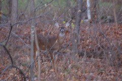 Deer - 12-10-2012 (jackt002) Tags: pentax wildlife deer buck k110d