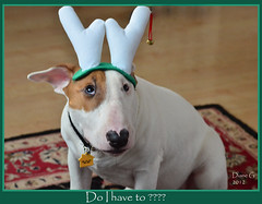 Ollie The Bull Terrier (Diane G. Zooms) Tags: dogs bullterrier soe supershot christmasdogs mygearandme mygearandmepremium mygearandmebronze sunrays5