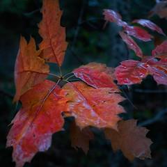 Colores de otoo en Navarra (XXXVI) (Angel Villalba) Tags: autumn trees nature yellow landscape vegetation reds navarra ocher