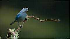 Blue Gray Tanager (Raymond J Barlow) Tags: blue green bird nature costarica wildlife workshops bluegray 200400vr nikond300 raymondbarlowtours