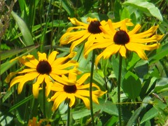 Susans (tcpix) Tags: blackeyedsusans augustasprings wetlandstrail augustacounty virginia