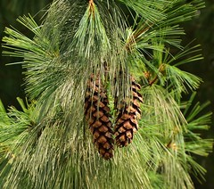 Weymouthden - Pinus strobus (henkmulder887) Tags: weymouthden pinusstrobus harm rhenen achtertuin wouda naaldboom noordamerika naaldhout