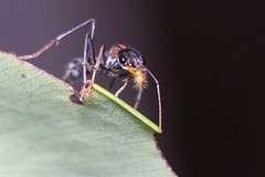 Jumper Ant (Teale Britstra) Tags: tondoonbotanicgardens tondoon botanicgardens botanicalgardens gardens macro macrokosm macrokosmcom canon 600d 55250mm extensiontubes myrmecia nigrocincta myrmecianigrocincta insect hymenoptera macrophotography ant jumperant bulldogant bullant nature native wildlife wild outdoors photography
