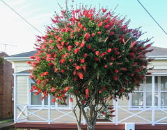 Auckland, New Zealand (gttexas) Tags: 2009 auckland cruise devonport newzealand starprincess flower