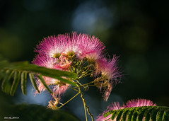 Fragile Mimosa Bloom (Denzil D) Tags: mississiipi mimosa tree blooms flowers canon bokehphotography