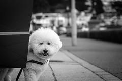 Bichon Frise (dantooine79) Tags: dorset poole black white blackandwhite dog bichon frise sandbanks sony rx10
