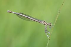 Platycnemis pennipes (Prajzner) Tags: whiteleggeddamselfly damselfly sigma105mmmacro nikond7100 nature nikon naturallight macro manfrotto morning