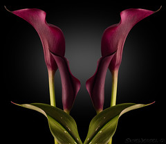 Leader of the Bracts (EXPLORED) (SkyeWeasel) Tags: flower calla callalily blackbackground plant zantedeschia bract