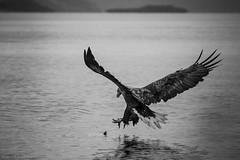 Sea eagle catching lunch (mikanuorva) Tags: norja talvik jmeri kalastus lintu maisema sea eagle norway arctic ocean alta north bird catch nature bw fjord kotka merikotka vuono meri saalistus saalis kala canon 6d vsco
