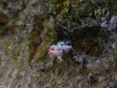 Eggs of a cottony cushion scale (Geminiature Nature+Landscape Photography Mallorca) Tags: cottonycushionscale iceryapurchasi mallorca stages cyclus life cyclo cochinillaacanalada schildluis wit white blanco eggs eitjes huevos macro raynox 250 dcr dcr250 raynox250 lieveheersbeestje ladybug ladybird mariquita