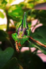 Camalen (chameleon) (breakbxnes) Tags: macro green animal nature flickr chameleon reptil park lagarto lizard chamaleo camaleon color nikon d5200 2016