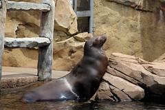 sealion (THinLou) Tags: animals louisvillezoo