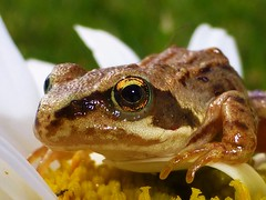 Froggy on a flower..x (lisa@lethen) Tags: frog froglet daisy flower garden wildlife nature summer