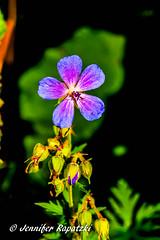 Geranie (Bernsteindrache7) Tags: summer spring sony alpha 100 flora fauna flower green park bloom blossom blume blue