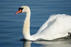 Smooth gliding (Tuomo Nyknen) Tags: cygnusolor cugnus joutsen kyhmyjoutsen swan muteswan suomenlinnut finnishbirds water ocean meri