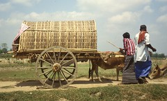 thakurgaon104 (Vonkenna) Tags: bangladesh thakurgaon seismicexploration cow cart purdah