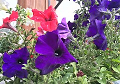 McKinley Chalet ~ Patriotic Petunias - HTT! (karma (Karen)) Tags: mckinleypark alaska mckinleychalet flowers brightcolors vibrant 4summer texture htt iphone cmwd