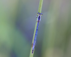 Blue Beauty (imageClear) Tags: damselfly blue beauty nature beach sheboygan wisconsin nikon aperture d600 105mm imageclear flickr photostream