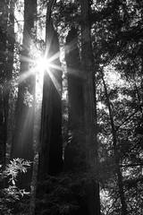 Starburst (Tim Gupta) Tags: california landscape redwoods sunburst sun trees monochrome blackandwhite bigbasin