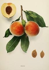 n420_w1150 (BioDivLibrary) Tags: andrewjackson 18151852 downingaj fruitculture newyorkstate portraits prunuspersica rosaceae newyorkbotanicalgardenluesthertmertzlibrary bhl:page=6593871 dc:identifier=httpbiodiversitylibraryorgpage6593871 prolificpeach