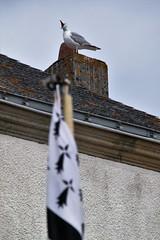 Chant breton - Brittany song (Jeanne Menj) Tags: chant breton bretagne mouette goland drapeau brittany flag bird