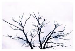 lonely (memories-in-motion) Tags: lonely einsam allein alone isolated isoliert äste baum tot tree branches vogel bird krähe crow silhouette sky clouds himmel wolken geäst canon eos verzweigt nture natur canoneos7dmarkii ef70200mmf28lisiiusm highkey falcon falke minimalism reduziert einfach simple
