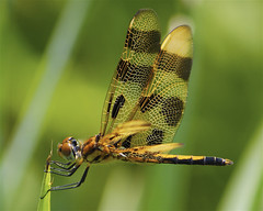 Male Halloween Pennant (milesizz) Tags: halloweenpennant celithemiseponina skimmer libellulidae wisconsin wi milwaukee anisoptera dragonfly odonata