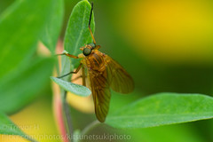 Robber Fly 2? (Kenjis9965) Tags: robber fly canon eos 7d ef 100mm f28l is macro insects small leaves garden sharp saturated