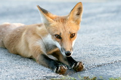 Cookie Monster (marylee.agnew) Tags: red fox nature curious kit young cute sweet canine mammal wildlife urban