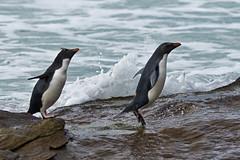 Day 10 286 (brads-photography) Tags: beach falklandislands falklands hopping jumping rockhopperpenguin rocks saunders splashing standing three water wildlife eudypteschrysocome