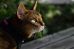 Lizzie under the bird's nest. (DizzieMizzieLizzie) Tags: abyssinian aby beautiful wonderful lizzie dizziemizzielizzie portrait cat chats feline gato gatto katt katze katzen kot meow mirrorless pisica sony a6000