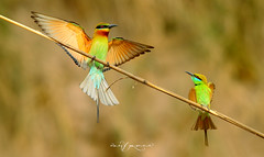 Bigger Vs. Smaller (Wasif Yaqeen) Tags: bluetailedbeeeaters beeeaters bluetailedbeeeatervsgreenbeeeater littlebeeeaters nature wildlife birds birdsofpakistan pakistanwildlife wildlifeofpakistan animals pakistannature wasifyaqeen wasif animalplanet nationalgeographic outdoor birdsinnaturalhabitat birdshabitat pakistan wasifyaqeenphotography