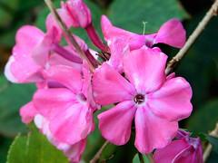 Pink Flowers (David_Blair) Tags: glasgow scotland flowers wilderness park forest flower pink pinkflowers closeup macro tree trees