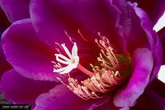 Cactaceae flower (frillicca) Tags: 2016 cactacee fiore flower macro macrofotografia maggio roma viola violet antera anther closeup may pistil pistilli pollen polline stame style