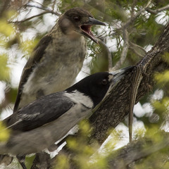 a peek at parenting (Fat Burns) Tags: bird australianwildlife butcherbird australianbird