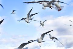 Longing... (akal_flickr) Tags: seagulls flight